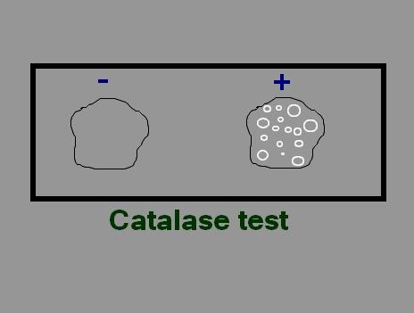 CATALASI TEST