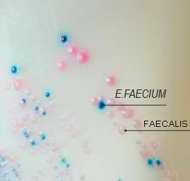 F.E.M. CHROMOGENIC MEDIUM