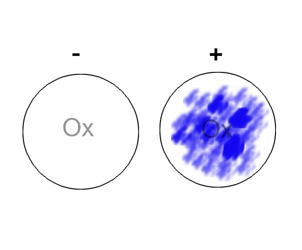 OXIDASE TEST (Dischi)