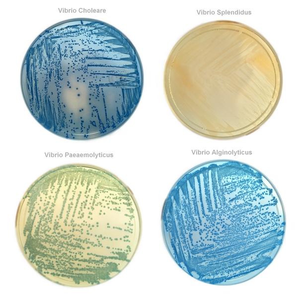 Str Vibrio SELECTIVE CHROM